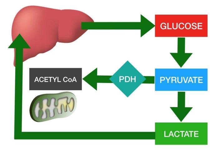lactate-diagrama
